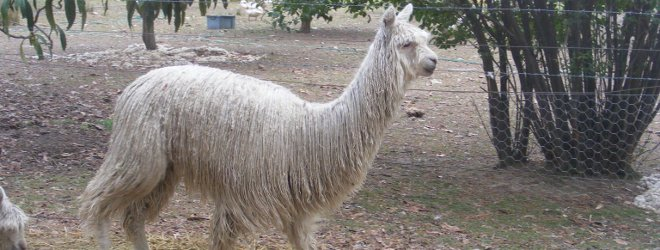 Australia Alpacas For Sale